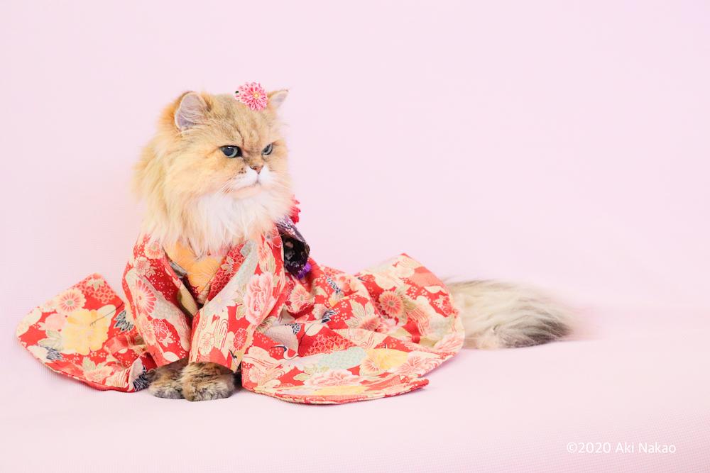 着物姿の猫 by ねこミュニケーター中尾亜希さんの愛猫で20歳を迎えた「にゃんちー」