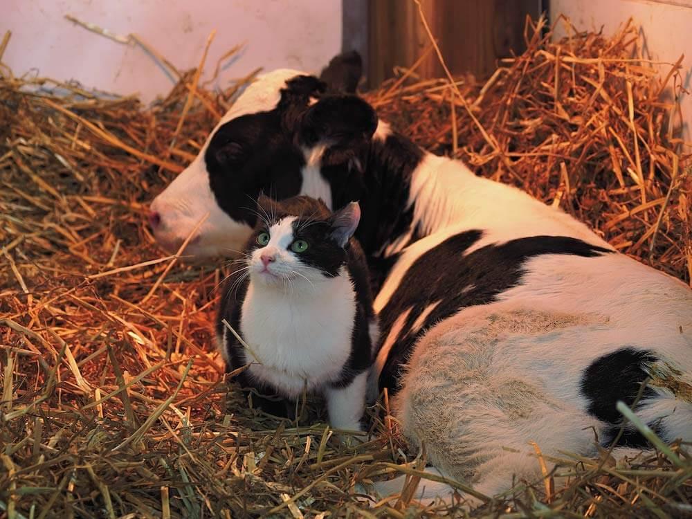 岩合光昭さんが撮影した北海道の牧場で暮らす猫と牛「週刊朝日の2020年12月18日号」