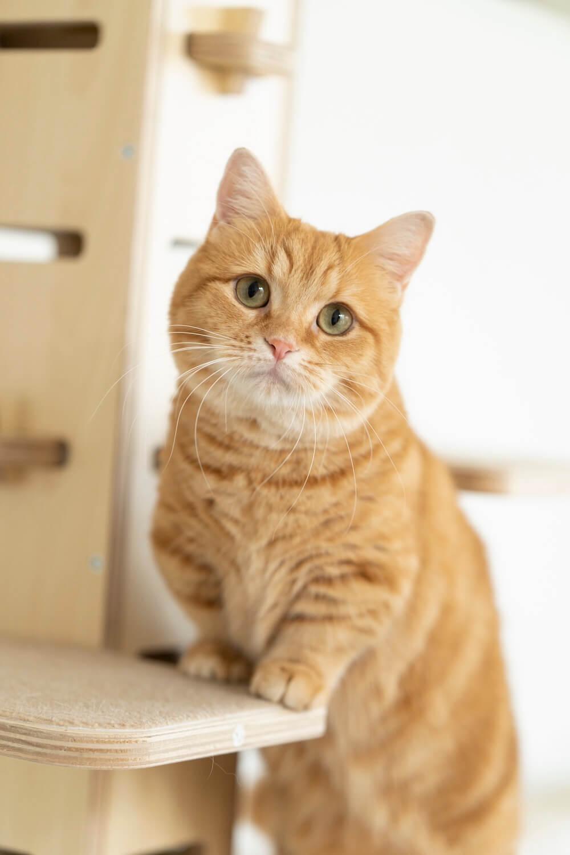 雑誌『ネコブロスvol.1』の表紙を飾る人気猫、マンチカンのぷーちゃん