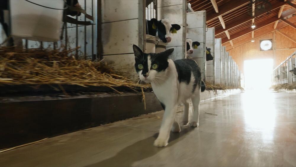 牛舎の中を歩く黒白ハチワレ猫 by 『劇場版 岩合光昭の世界ネコ歩き あるがままに、水と大地のネコ家族』