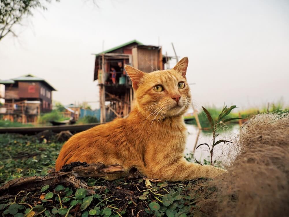 インレー湖の湖上で振り返る茶トラ猫 by 岩合光昭写真展「世界ネコ歩き あるがままに、水と大地のネコ家族」