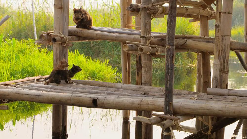 高床式住居の上の段に登れずに助けを求める子猫たち by ミャンマーのインレー湖