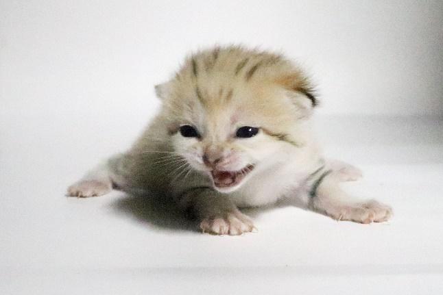 生後13日目に両目が開いたスナネコの赤ちゃん
