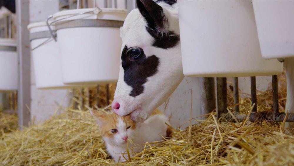 猫を毛づくろいする子牛 by 映画『劇場版 岩合光昭の世界ネコ歩き あるがままに、水と大地のネコ家族』