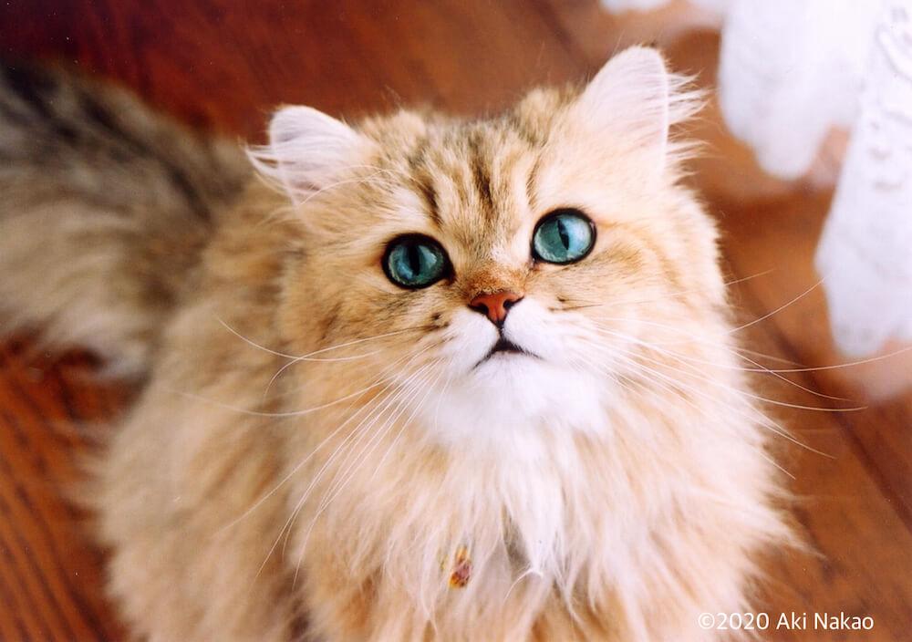 3歳の頃の「にゃんちー」 by ねこミュニケーターのnanonya.Aki 中尾亜希さんの愛猫