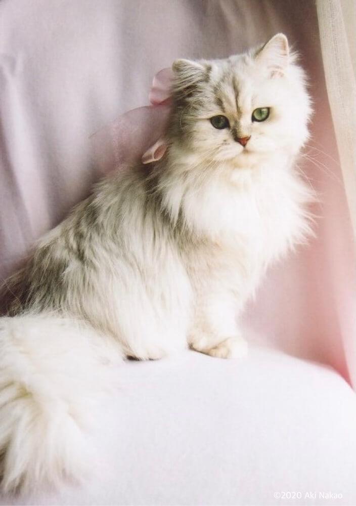 「にゃんちー」の娘「スパンコ」 by ねこミュニケーターのnanonya.Aki 中尾亜希さんの愛猫