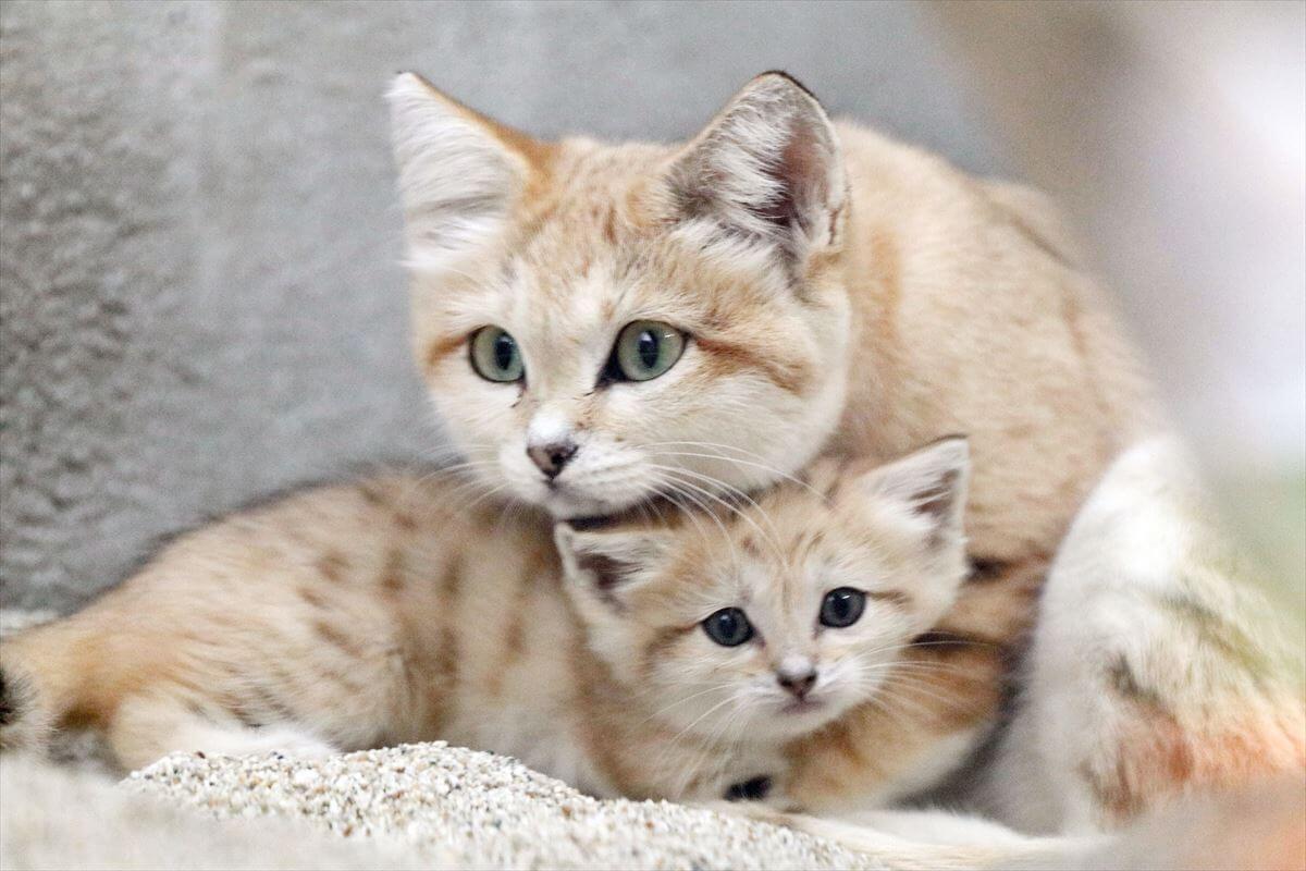 寄り添い合うスナネコの親子(母ネコと雄の赤ちゃん) by 神戸どうぶつ王国