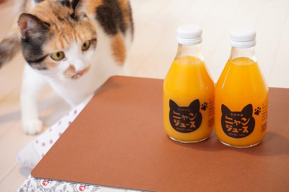 猫用こたつの上にある和歌山みかんジュース「ニャンジュース」を見つめる猫