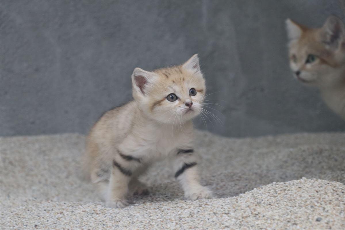 母ネコから少し離れて探索するスナネコの赤ちゃん(雄ネコ) by 神戸どうぶつ王国