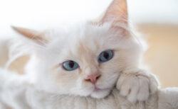 ロシア原産のモフモフ猫「サイベリアン」が急上昇!2020年の猫種ランキング、トップ30を紹介