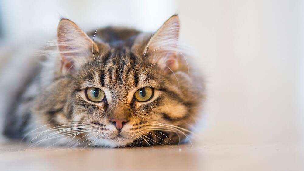 床に伏せてくつろぐ猫のイメージ写真
