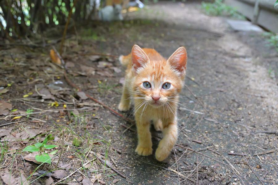 カメラ目線の茶トラの野良猫 by ままめろん