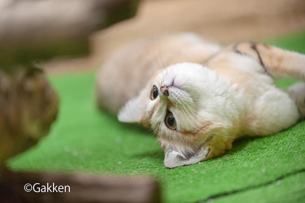 仰向けに寝転がって大きな目で見つめるスナネコ