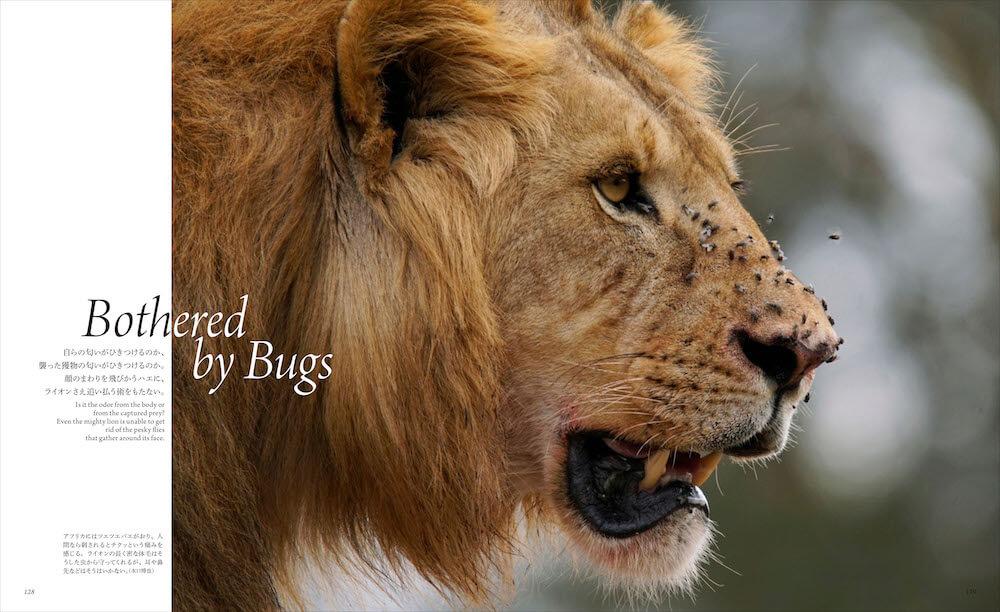 ライオンの顔に群がるハエ by 「世界で一番美しい野生ネコ図鑑」