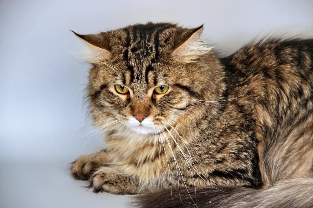 ロシア原産の猫、サイベリアンのイメージ写真