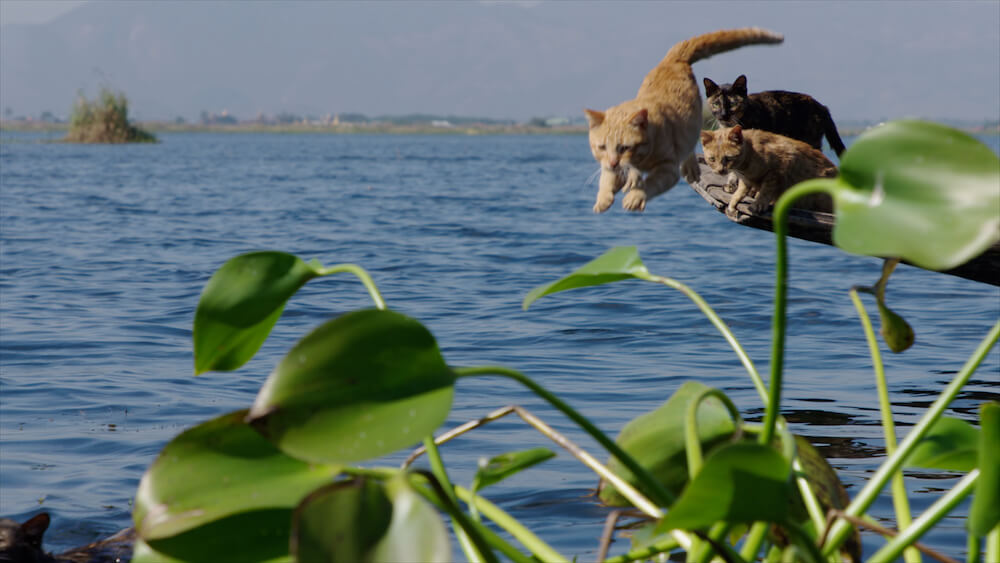 水面に向かって飛び込む猫 by 『劇場版 岩合光昭の世界ネコ歩き あるがままに、水と大地のネコ家族』