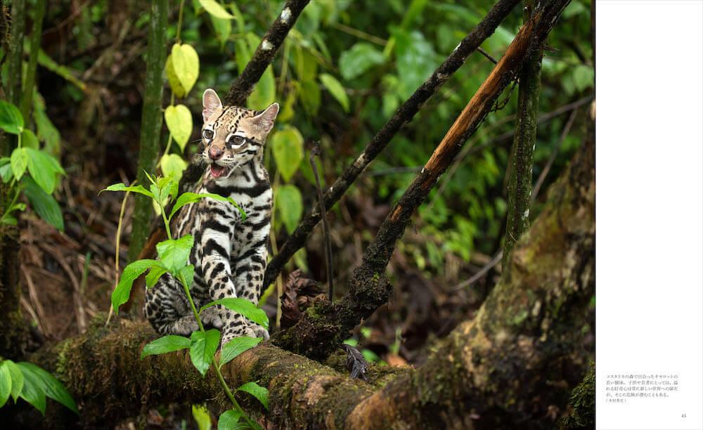 オセロットの若い個体 by 「世界で一番美しい野生ネコ図鑑」