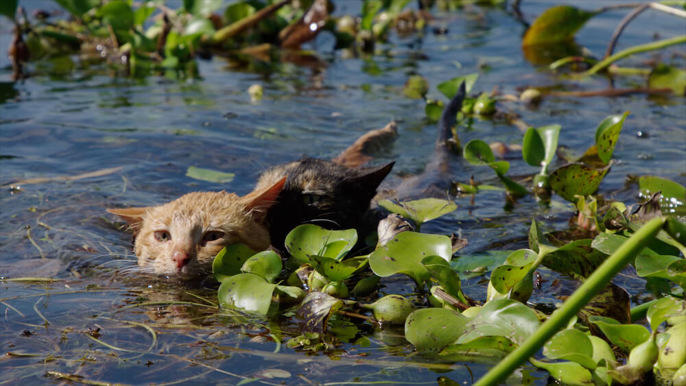 湖で泳ぐ猫の夫婦 by 『劇場版 岩合光昭の世界ネコ歩き あるがままに、水と大地のネコ家族』