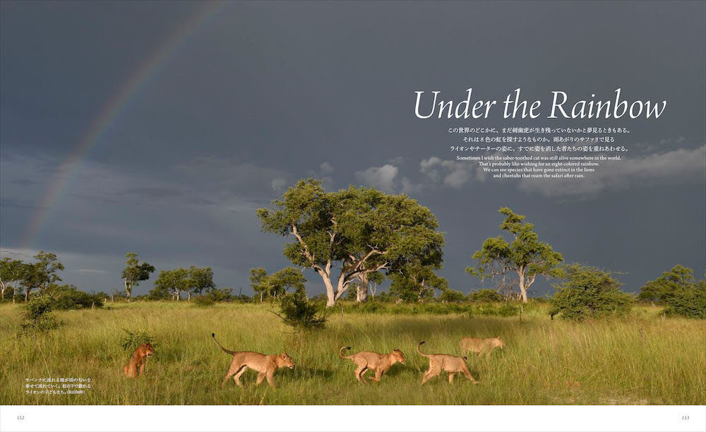サバンナに掛かった虹の下で戯れるライオンの子供たち by 「世界で一番美しい野生ネコ図鑑」