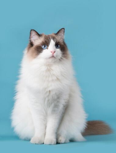 青い瞳の長毛猫「ラグドール」のイメージ写真