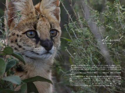 野生ネコの魅力をたっぷり凝縮!医師で写真家・井上冬彦氏の写真集『サバンナのネコ』