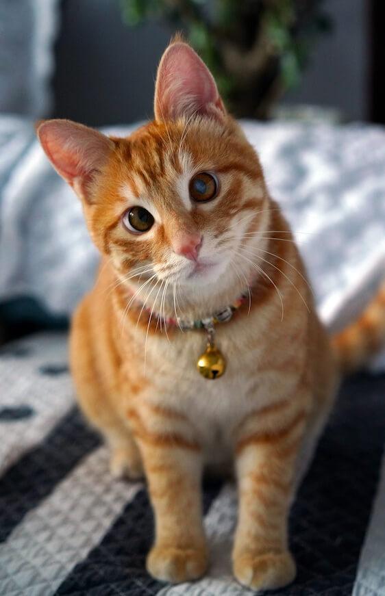 首輪に鈴を付けた飼い猫のイメージ写真