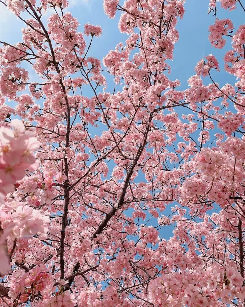 青空の下に咲く桜のイメージ写真