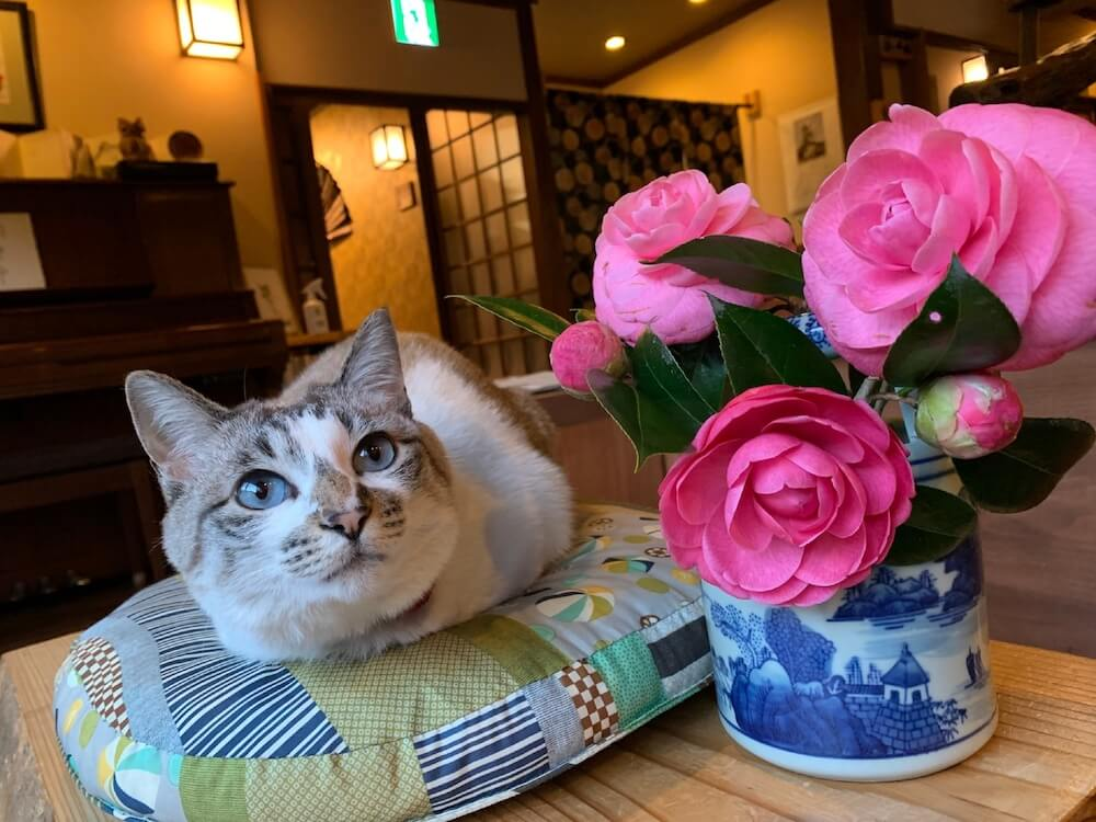 湯平温泉にある「癒しの宿鷹勝」の看板猫・こゆき