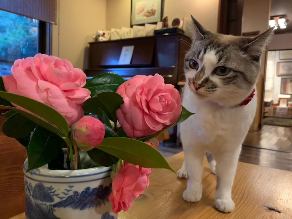 お花の匂いをチェックする看板猫の「こゆき」 by 癒しの宿鷹勝