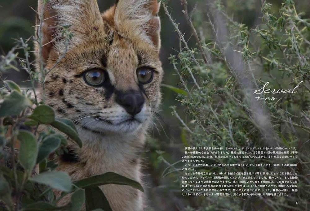 野生のネコ科動物サーバルの写真 by 写真集『サバンナのネコ』