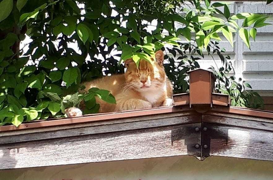 屋根の上でくつろぐ看板猫の「チビ」 by 下呂温泉のニコニコ荘
