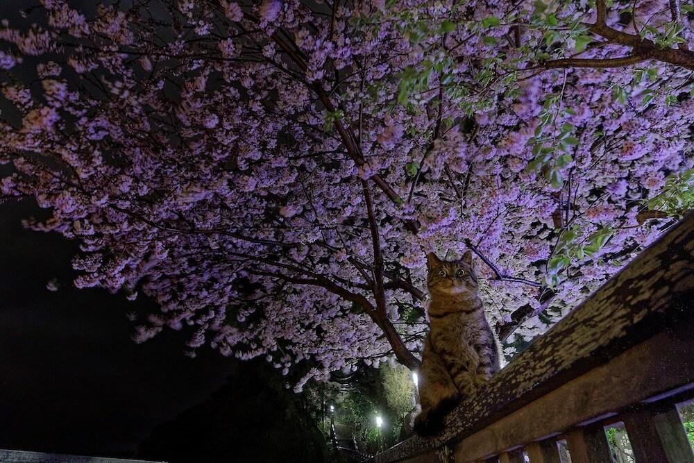 夜桜を背景にした猫の写真 phoo by 渥美大亮