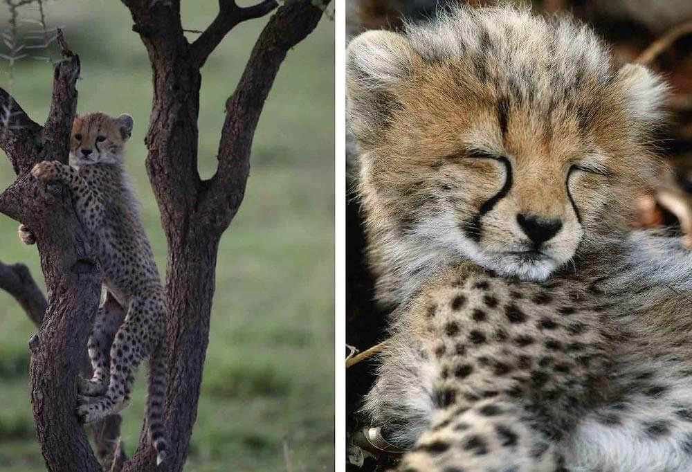 野生のネコ科動物チーターの写真 by 写真集『サバンナのネコ』