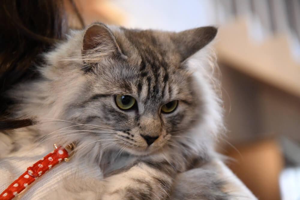 伊豆高原の宿「プチホテル フロマージュ」の看板猫「ミュウちゃん」