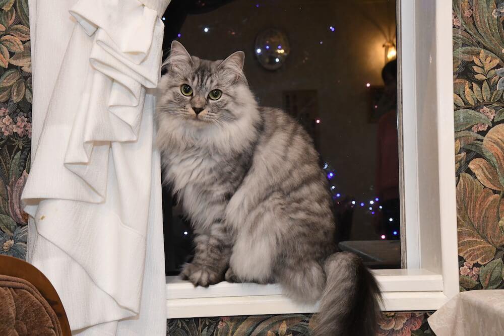 宿泊客をもてなす看板猫の「ミュウちゃん」 by 伊豆高原の宿「プチホテル フロマージュ」