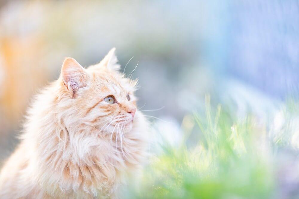 モフモフな毛並みの猫の横顔写真 phoo by sakuramoegi