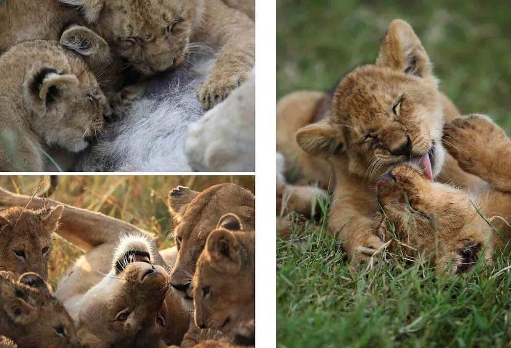 家族で子育てをするライオンの写真 by 写真集『サバンナのネコ』
