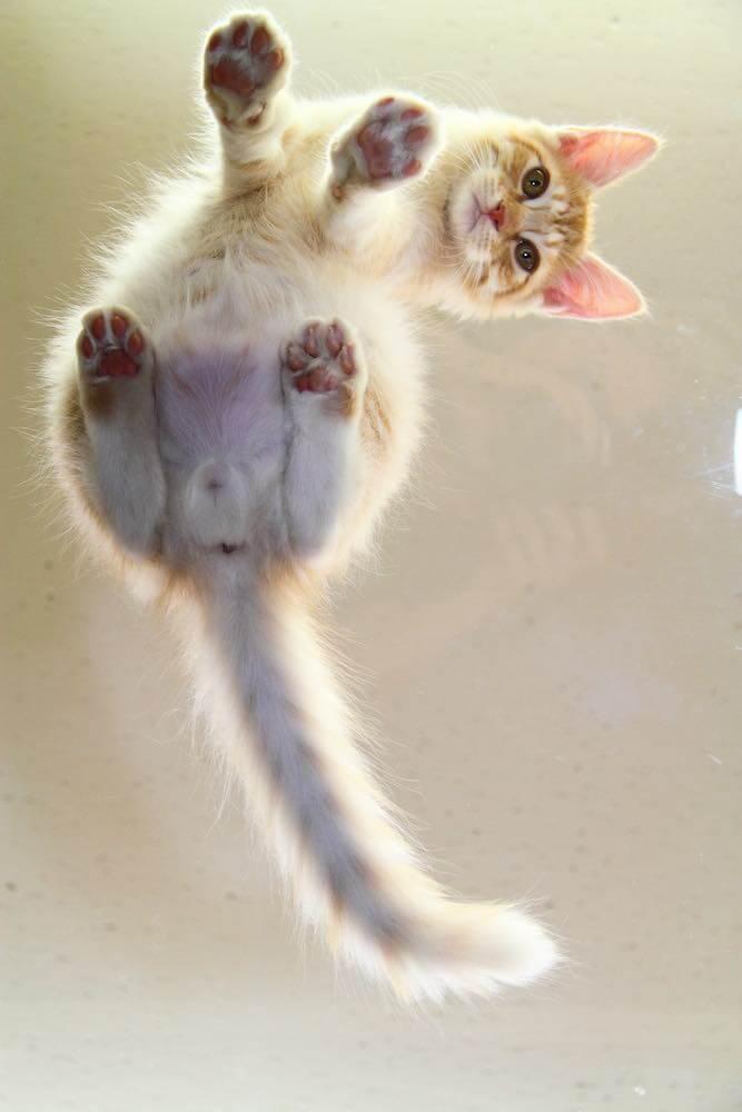 白猫の肉球をアクリル板の下から撮影した写真(撮影/芳澤ルミ子)
