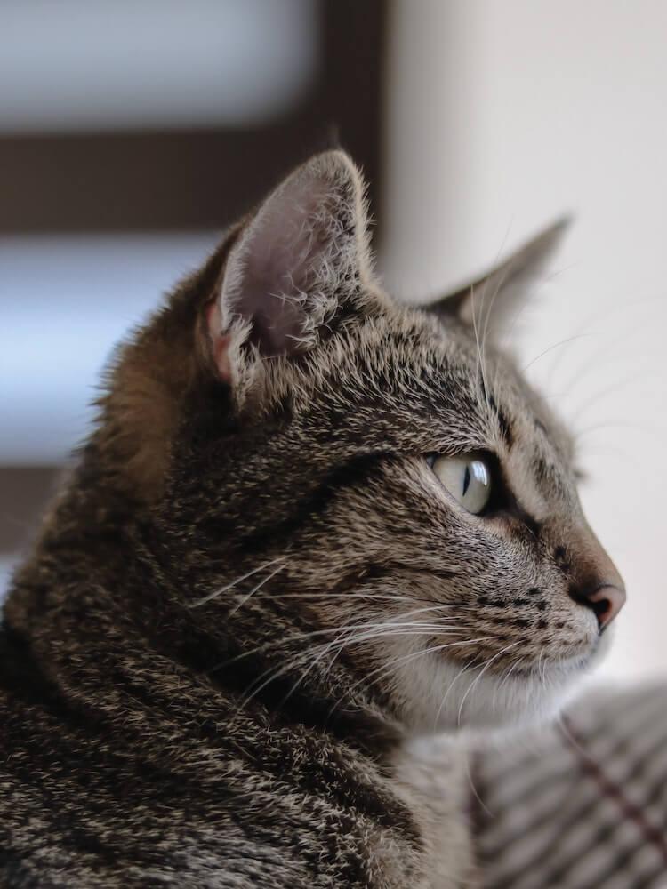 飼い猫の横顔イメージ写真