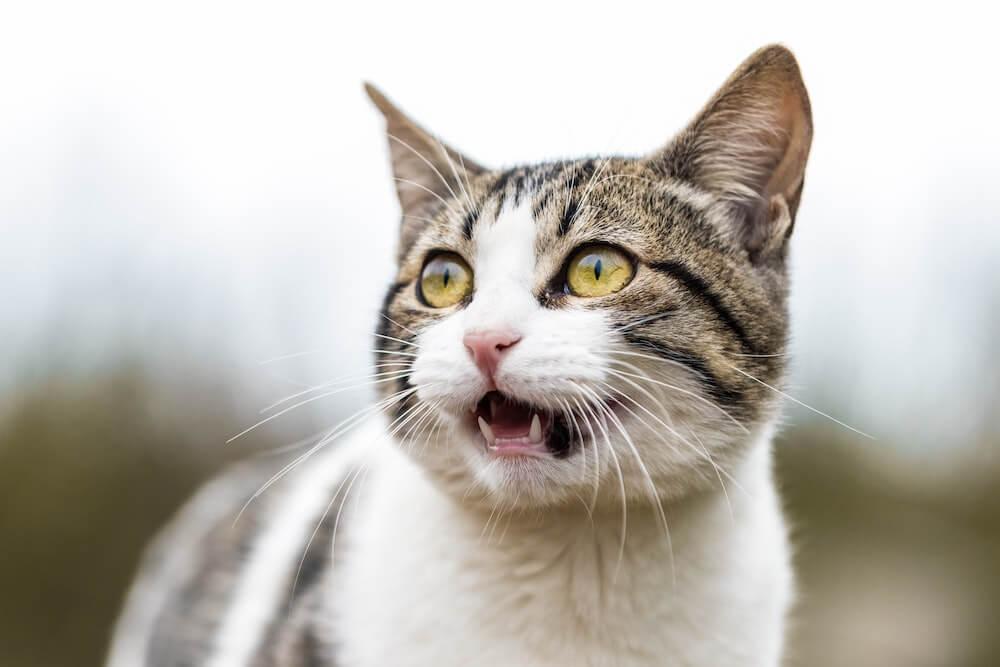 猫が口を開けて猫語を話しているイメージ写真