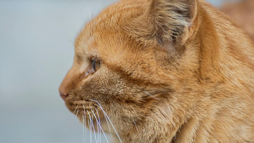 物憂げな茶トラ猫の横顔イメージ写真
