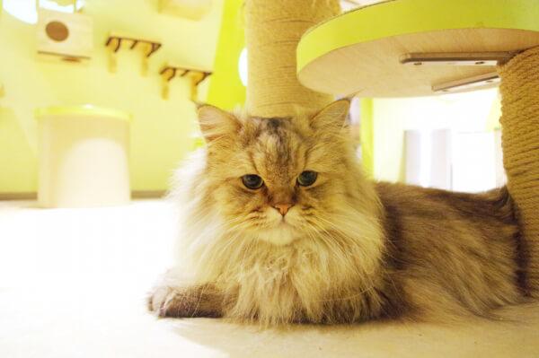 Moff animal world(モフ アニマル ワールド)MARK IS みなとみらい店の「ふれあいCat house」エリアにいる猫