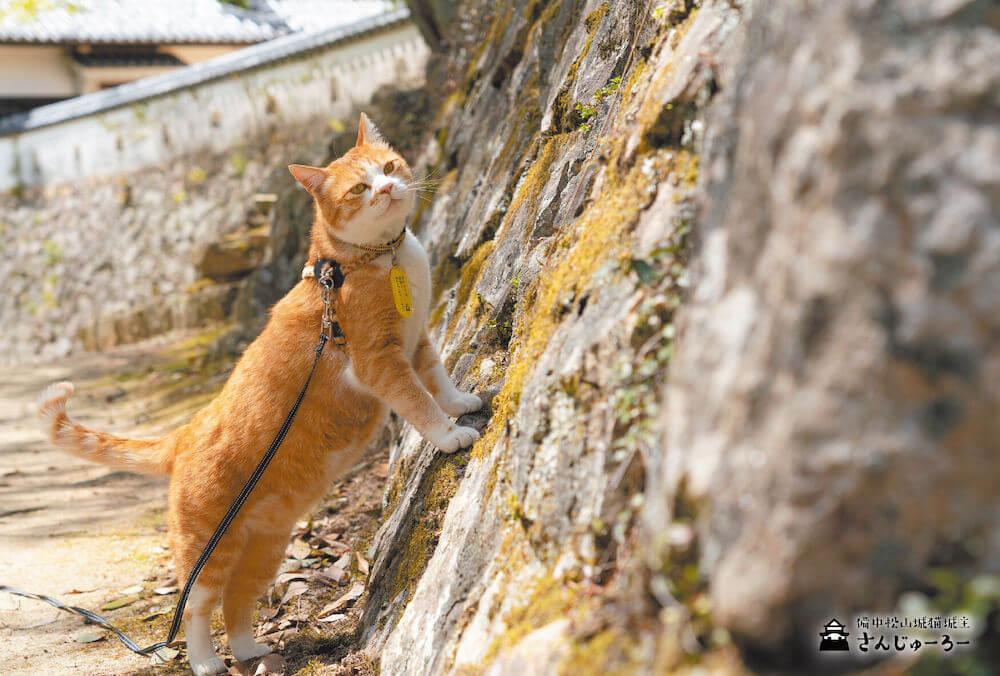 備中松山城の見回りをする猫城主の「さんじゅーろー」