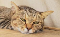 猫が熱中症になってしまったらどうすればいいの?ネコ専門医が解説するWEBセミナーが開催