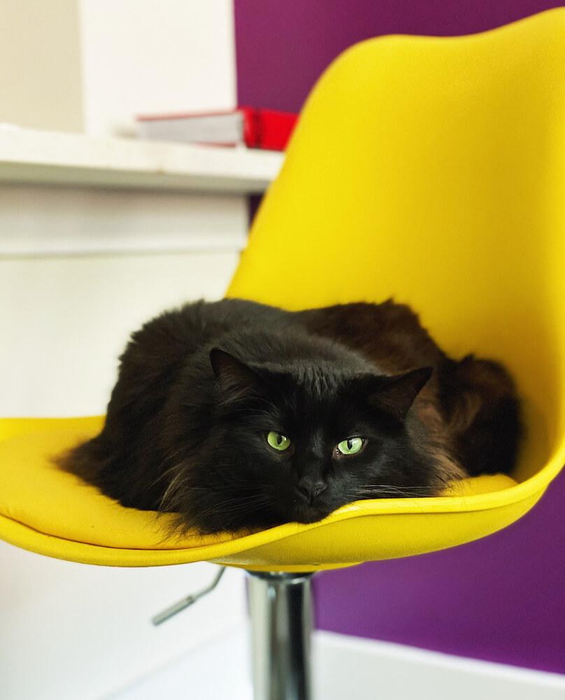黄色い椅子に座る黒猫のイメージ写真