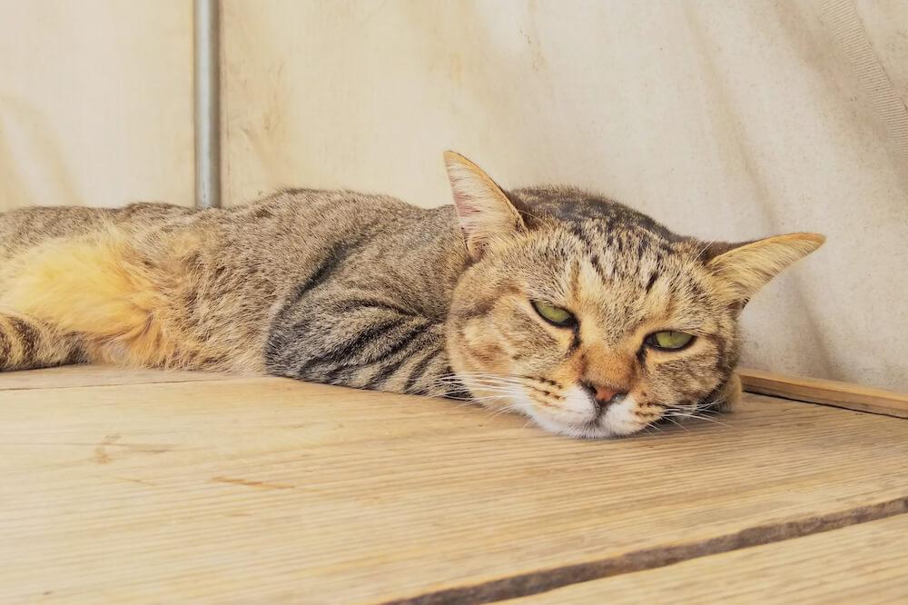 暑くて体調が悪そうな猫のイメージ写真