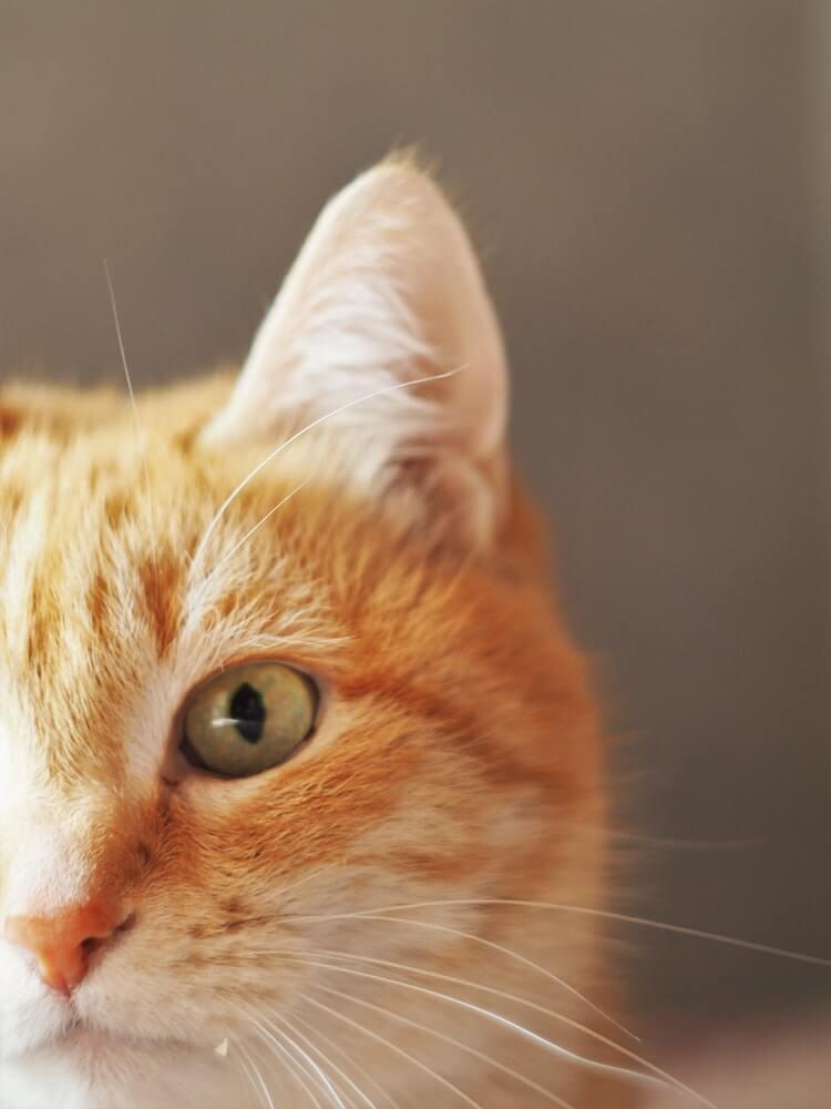 真面目そうな表情の猫のイメージ写真