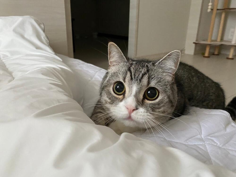 YouTubeの人気猫もちまる(もち様)のまんまるお目々な写真