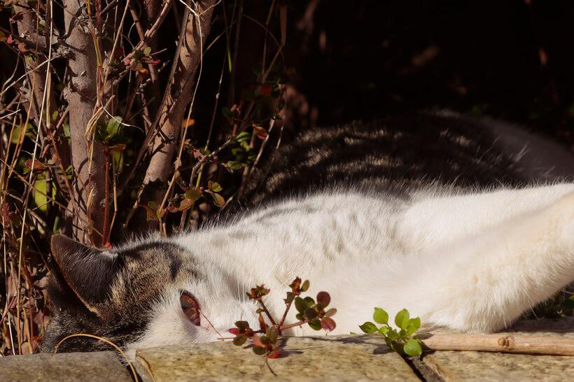 横たわりながら鋭い視線を送る野良猫の写真 by 横澤進一