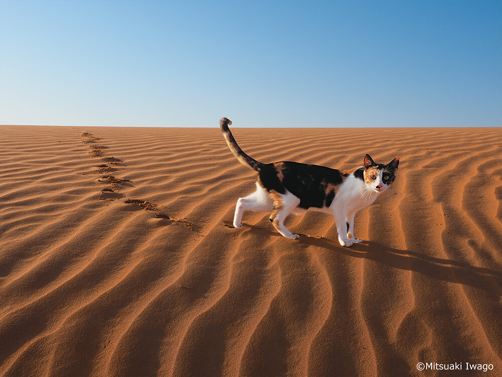 アラブ首長国連邦(UAE) アル・アインの砂漠を歩く猫 by 写真展 岩合光昭の世界ネコ歩き2